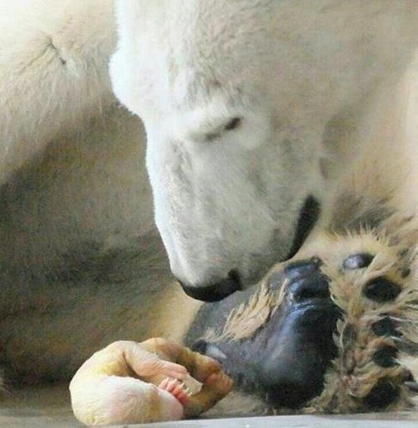 Если вам когда-нибудь было интересно, как выглядят новорождённые медвежата. познавательно, Про медведей, Белый медведь, медведь, Панда, О природе, длиннопост