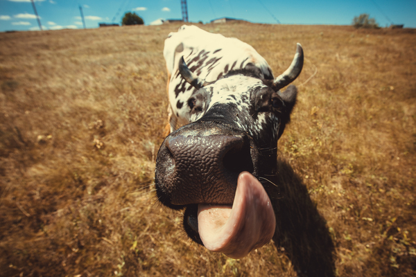 Язычком у коровы фото фото 212-786