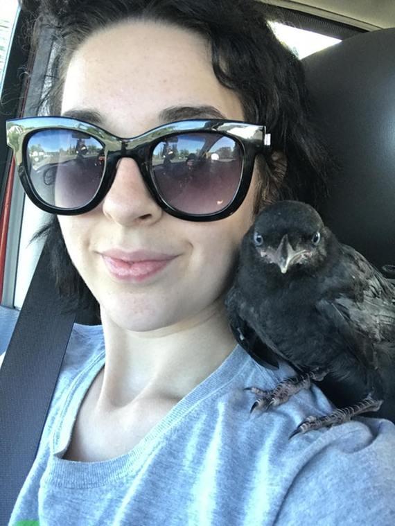 Этот парень залетел в окно, во время поездки, чтобы немного отдохнуть на плече) ворон, птицы, девушки, reddit