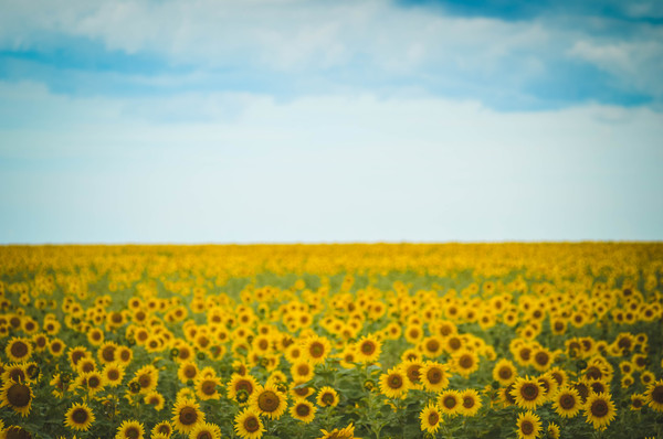 Желтые моря Крыма Крым, подсолнух, поле, фотография, Природа, природа России