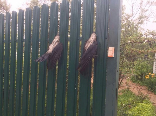 Вороны застряли в заборе дача, застрял, забор, ворона