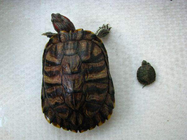 Можно ли есть красноухих черепах