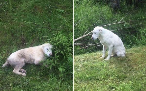 На трассе волонтеры спасли четырнадцать щенков породы алабай собака, алабай, спасение, длиннопост