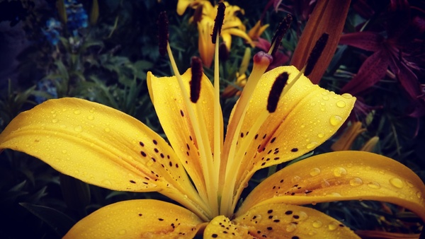 Лилия после дождя фотография, цветы, Дождь, после дождя