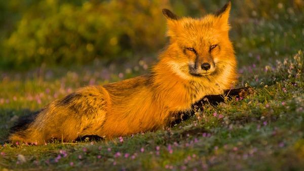 На вечернем солнышке. фотография, природа, животные, лиса