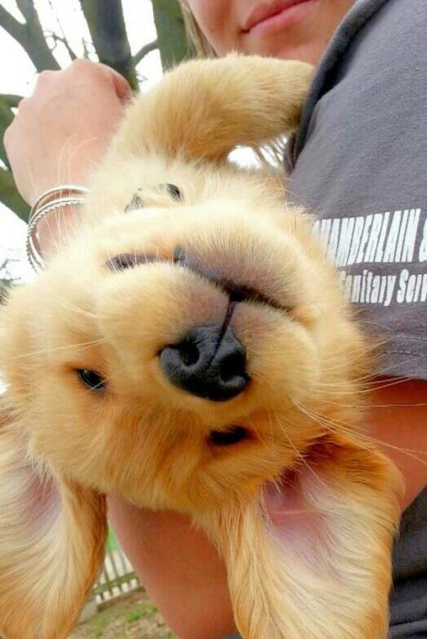 Щенки золотистого ретривера Собака, малыши, золотистый ретривер, подборка, милота, гифка, длиннопост