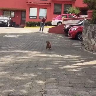 Такса стильно прыгает через водосток Собака, Такса, Reddit, Гифка