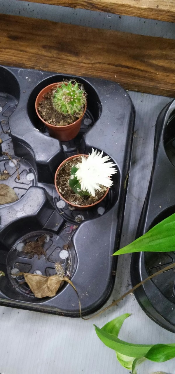 Райский цветок Цветок, Кактус, Маркетинг, Длиннопост