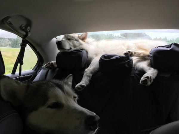 Вот так мы проехали 3000 км. Аляскинский маламут, карелия, длиннопост, собака