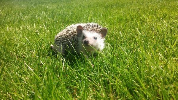 Ёж на траве