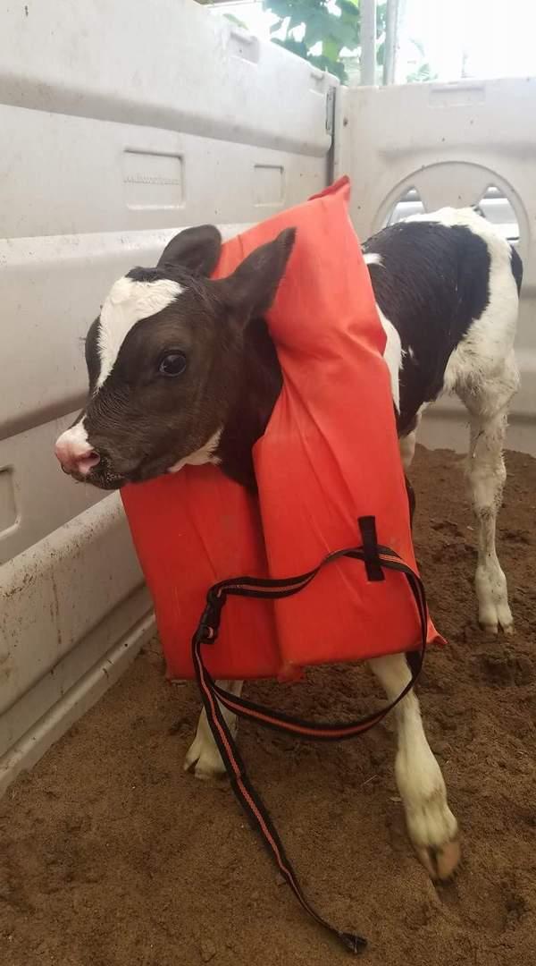Язычком у коровы фото фото 212-513