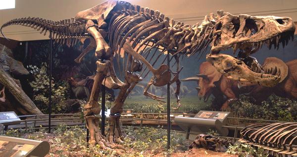 Самые знаменитые из знаменитейших. Тираннозавры Сью, Стен и Бакки палеонтология, динозавры, Сью, Стен, Бакки, скелет, длиннопост