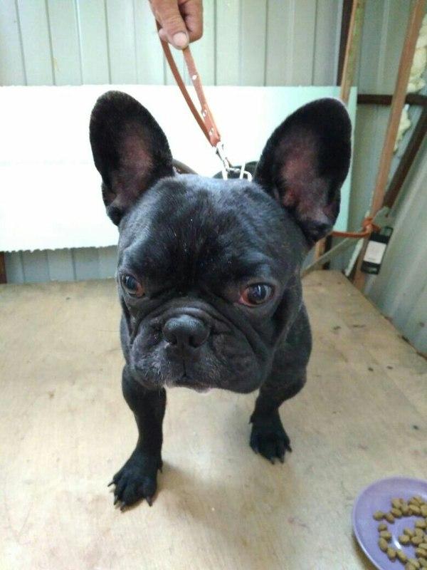 Найдена собака!!! Французский бульдог! Верхняя Пышма. Французский бульдог, Найдена собака, Пропала собака, Верхняя Пышма, Длиннопост, Помощь животным, Собака