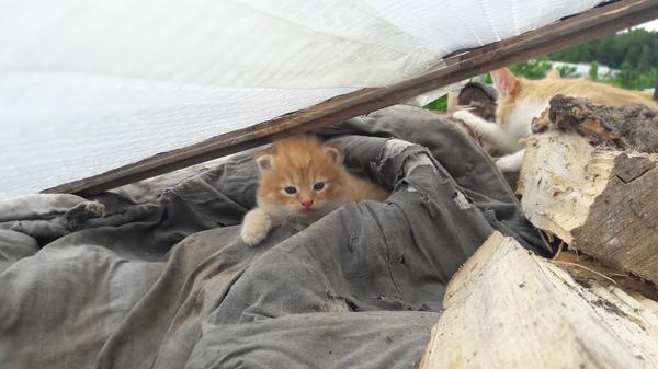 Нужен кому? Рыжий, дворовый котенок. В добрые руки, Кот, Отдам в хорошие руки, Видео