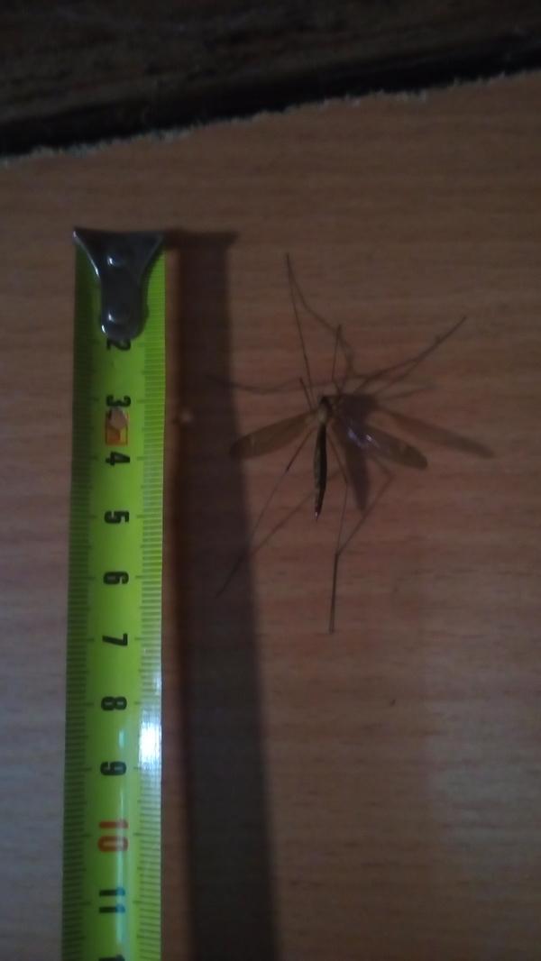 Наш ответ Австралии Комары, Ужас