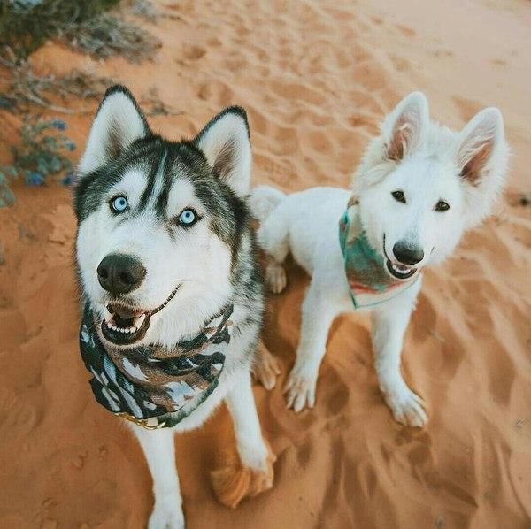 Друганы фотография, Собака, хаски, длиннопост