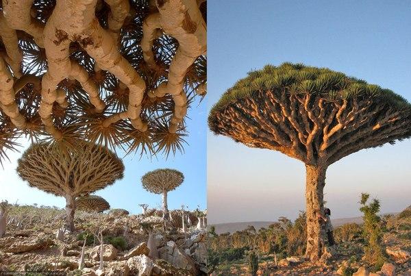 Инопланетное драконово дерево Драконово дерево, Дерево, Природа, Растения, Трипофобия, Познавательно, Тенерифе, Длиннопост