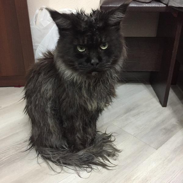 Грозный взгляд кот, мокрый, ненависть
