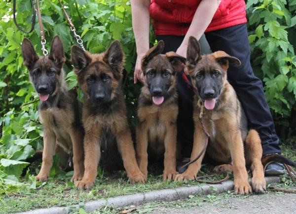 В парке. Собака, немецкая овчарка, щенки