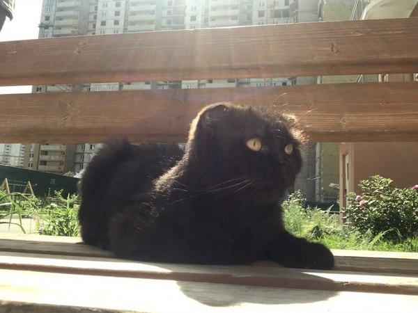 Потеряшка - шоколадная скотиш-фолд ищет своих хозяев кот, кошка пропала, породистые кошки, кошка потерялась, Москва, Путилково