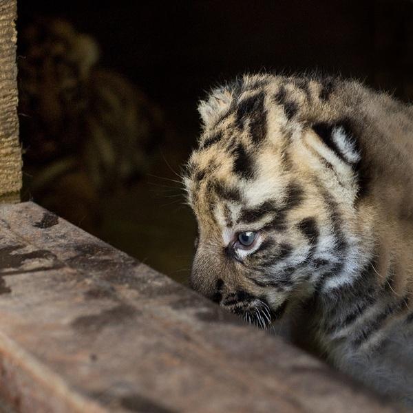 В Барнаульском зоопарке родились амурские тигрята тигр, зоопарк, животные, goodnewseveryone!, видео, длиннопост