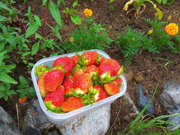 Лето в Заполярье Клубника, Первый урожай