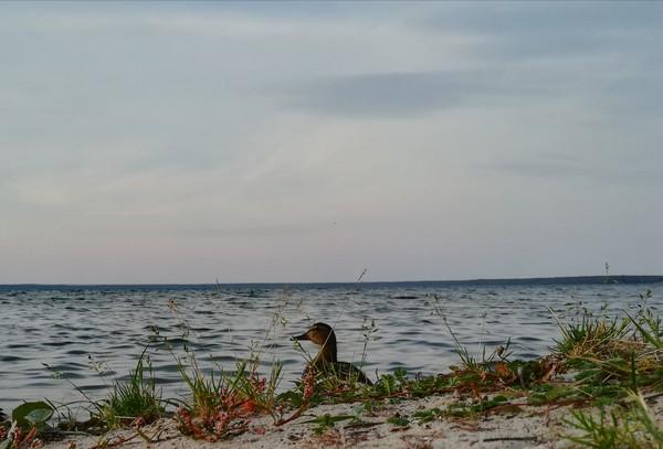 Уточка озеро Нарочь, Беларусь, утка, рассвет