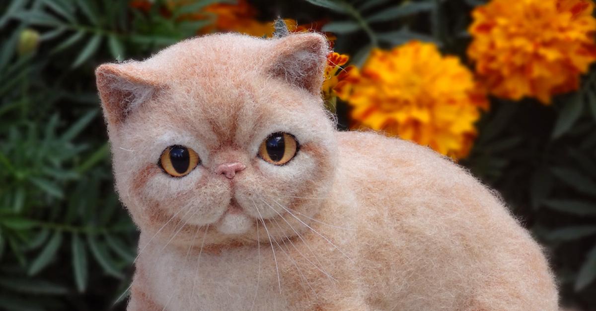 экзотическая короткошерстная кошка картинки западной части залива