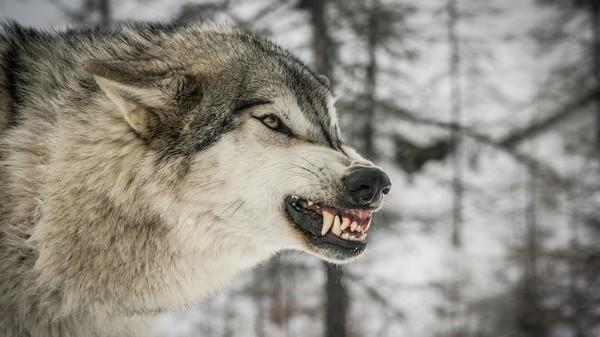 Проблема волков в Карелии Волк, карелия, охота, длиннопост