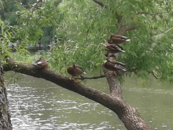 Утки на дереве утка, Дерево, Пруд, Парк