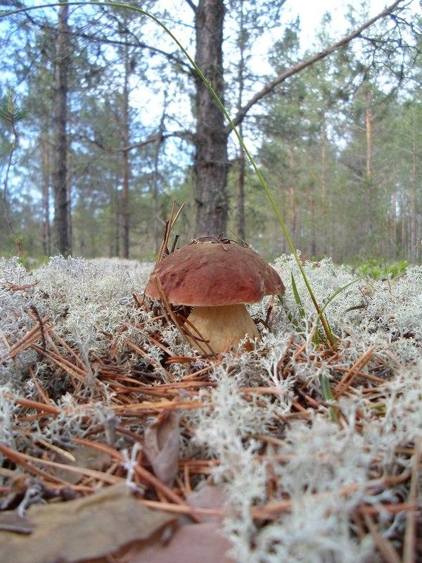 """""""Кто в ягеле не спрятался, я не виноват"""" ягель, мох, грибы, белый гриб, Коми, длиннопост"""