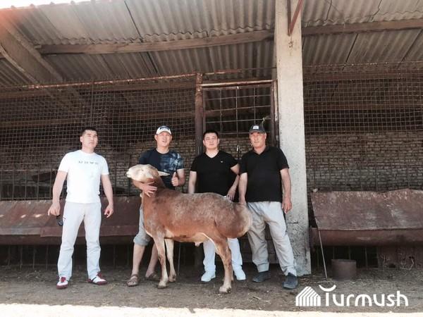 Баран за 5000 долларов Кыргызстан, Живоноводство, Гигант, текст