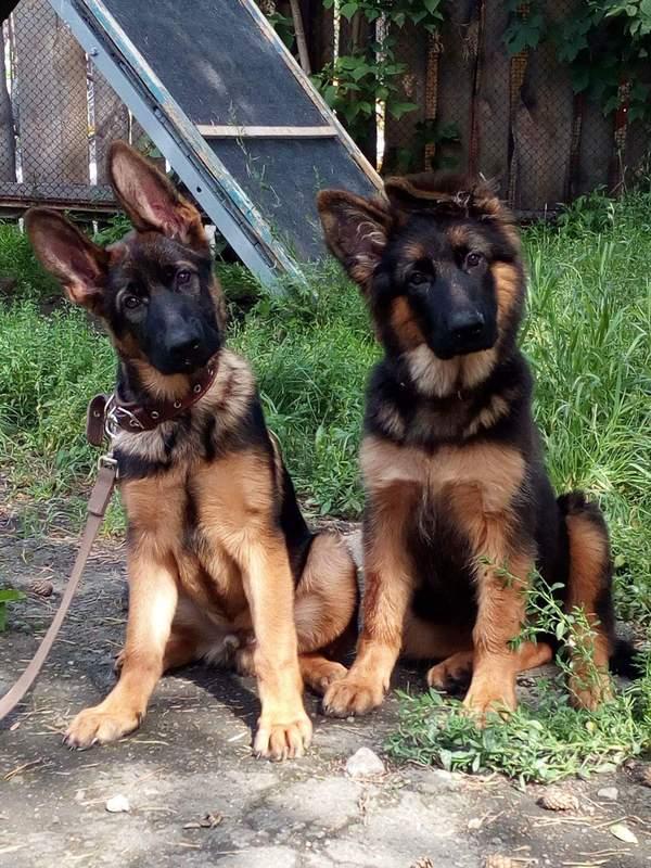 Приходили в гости Собака, немецкая овчарка, щенки, длиннопост