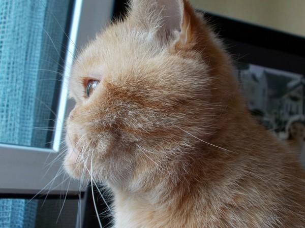 Моя кошка кошатники, Рыжая, кот