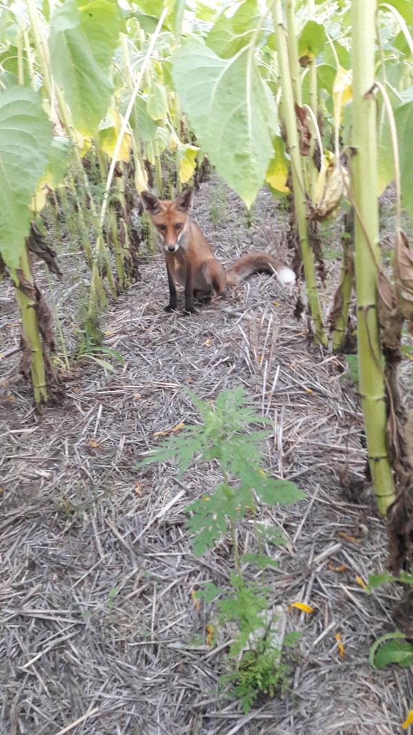 """Вот такого """"страшного"""" вредителя я сегодня встретил при объезде полей. Лиса, Жрет, Подсолнух, Длиннопост"""