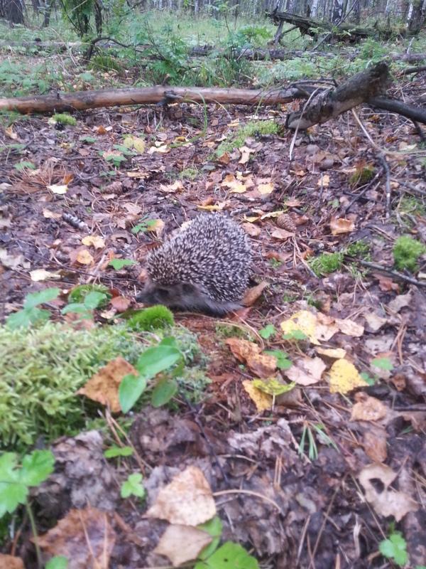 Грибочки. грибы, лес, Ёжик, длиннопост
