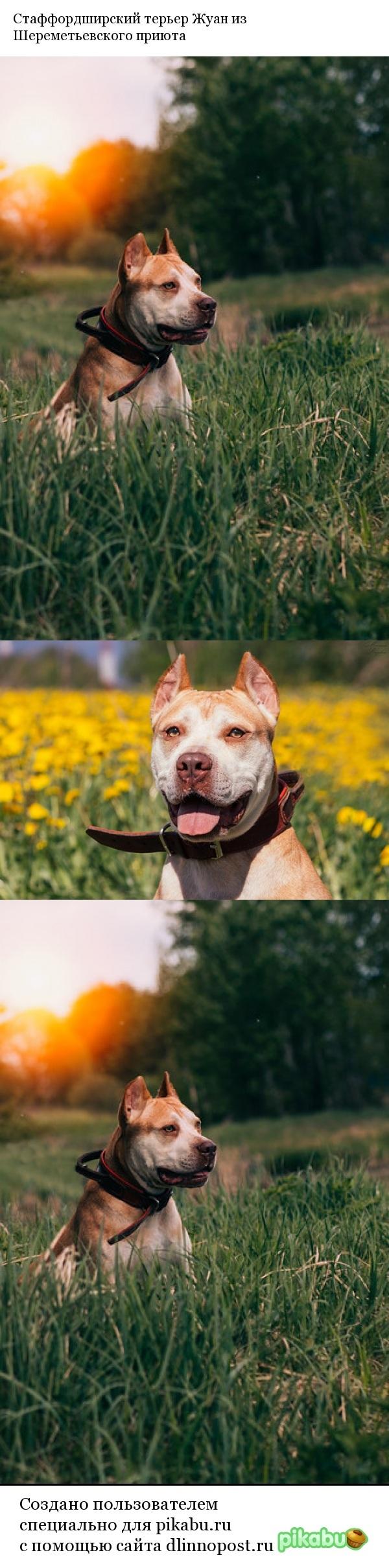 Собаки Шереметьевского приюта. Очередная часть стаффорд, стаффордширский терьер, Собака, приют для животных, благотворительность, помощь животным, длиннопост