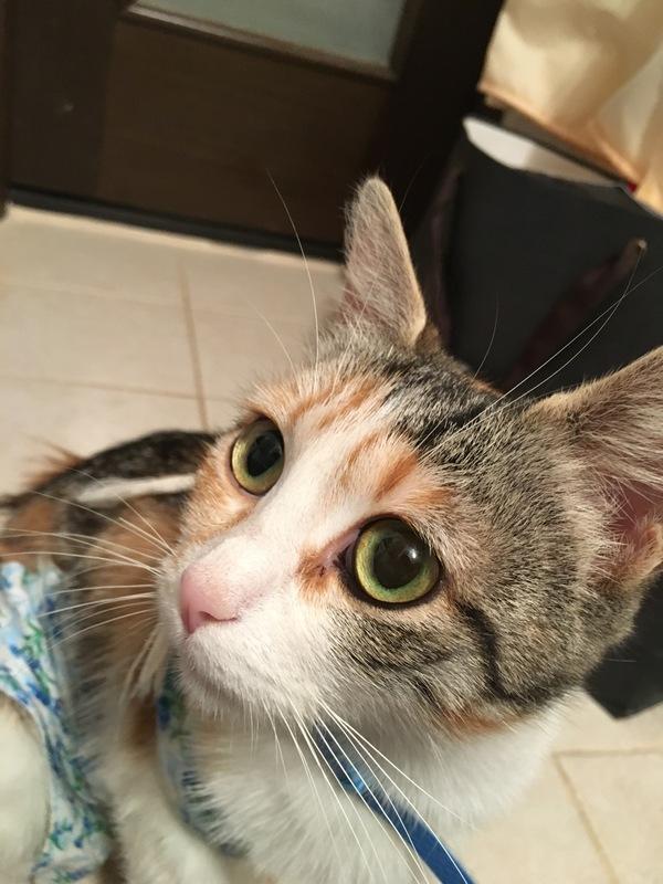 Коша ищет дом трехцветная кошка, кошатники, кот, Помощь