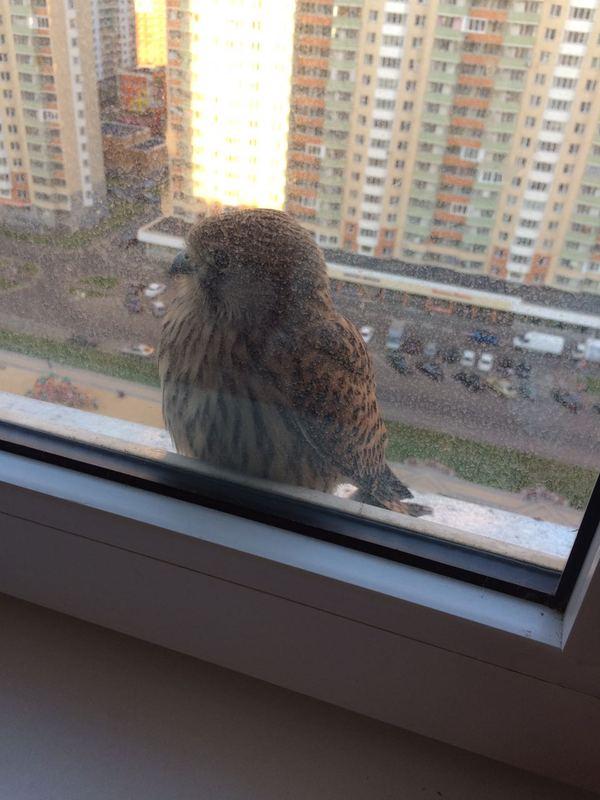 Кто эта птица? И чего ей надо? птицы, Железнодорожный, балкон, шок, длиннопост