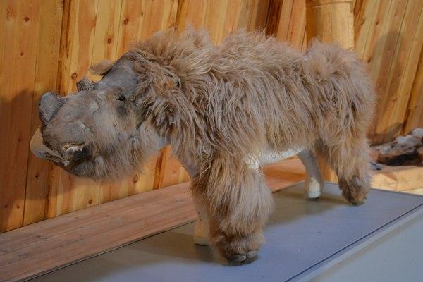 Для тех кто не видел. На фото чучело шерстистого носорога Якутия, шерстистый носорог, саша, фотография