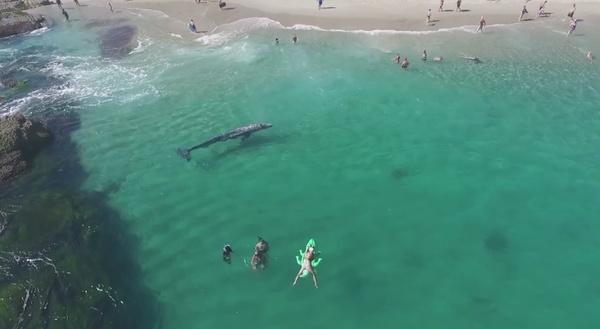 Шестиметровый кит на калифорнийском курорте Кит, Калифорния, видео, пляж