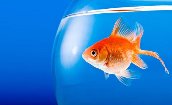 Золотые рыбки способны выживать без кислорода благодаря алкоголю. Рыба, алкоголь, научные исследования