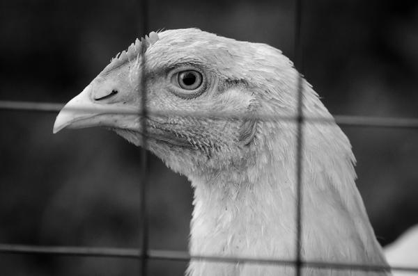 Взгляд фотография, взгляд, курица, nikon d5100