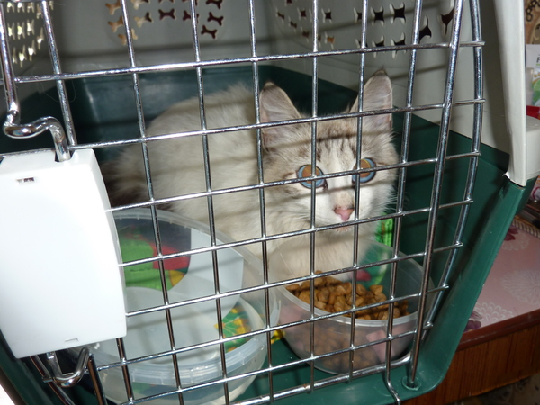 Назвала ее САФИРА кот, история спасения, выброшенная красавица, продолжение первого поста, длиннопост, моё