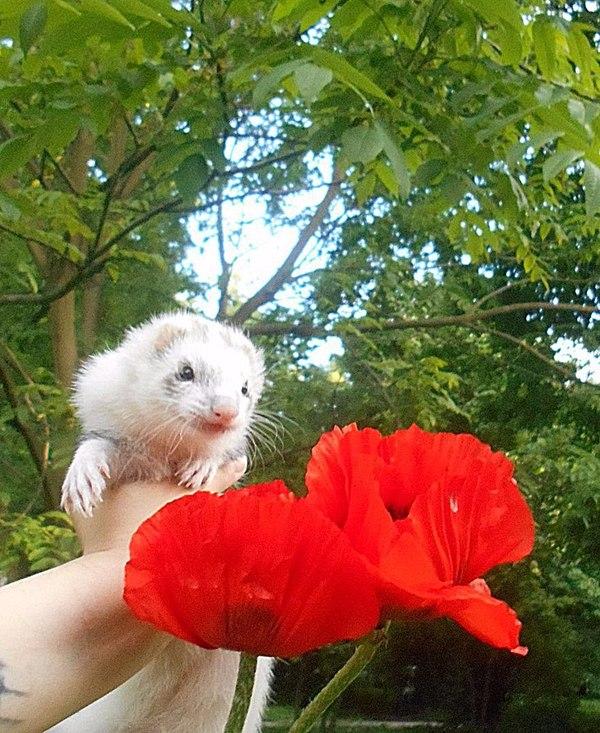 Хорица и цветы. фотография, Животные, Хорек, длиннопост