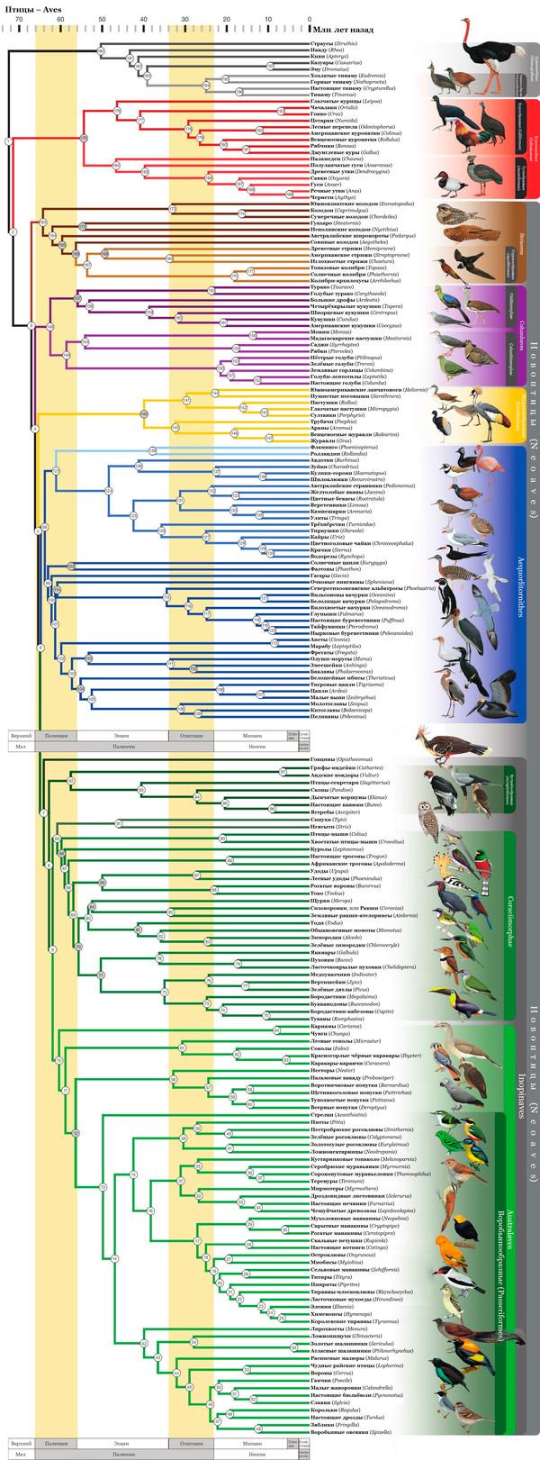 Филогения птиц 2.0 Исправленная и дополненная версия наука, биология, зоология, систематика, птицы, познавательно, Лига биологов, Лига орнитологии, длиннопост