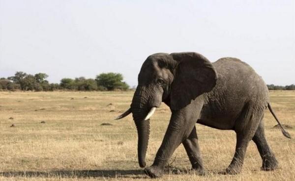В Индии застрелили слона, раздавившего 15 человек. слоны, Животные, Индии застрелили слона, опасная операция