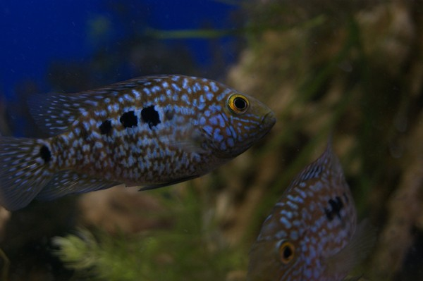 Пара бриллиантовых цихлазом (Herichthys cyanoguttatus) фотография, аквариум, макросъемка, Животные, Рыба, аквариумные рыбки, красота природы, длиннопост