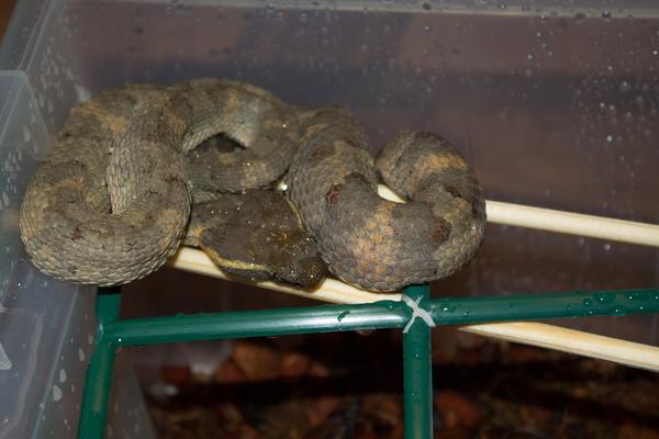 Плосконосая куфия (trimeresurus puniceus) куфия, ядовитая змея, змея, 18+, кормление змеи, кровь, террариумистика, длиннопост