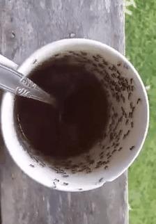 Муравьи с кофеином